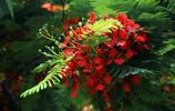這種開紅花的樹木叫做鳳凰木,果真就如那鳳凰涅磐一個樣子