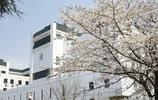 又是一年櫻花盛開的季節(武漢大學櫻花)