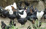 中國特有的藥用珍禽——烏骨雞!
