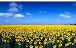 葵花籽油——心腦血管疾病患者的福音