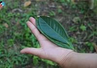 蠻磚茶山:普洱茶古六大茶山中老茶樹保存較好的茶區之一