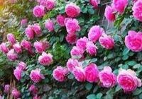 喜歡藤本月季花牆嗎?快來種幾棵,小編教你花少錢打造漂亮花牆