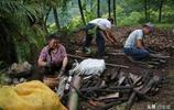 有著野生大熊貓之地的四川廣元 農民是如何種植野生藥材的