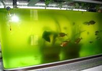 """魚缸變髒彆著急,它們是魚缸中的""""清道夫"""",再髒再渾也能清乾淨"""