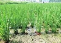 教你怎麼鑑別稻田龍蝦和野生龍蝦