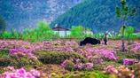 高清攝影圖集:攝影於香格里拉杜鵑花海美景