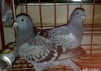 佔據高處的鴿子就是好鴿子?