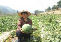 雙收模式!獼猴桃樹下套種西瓜,抗旱又增收