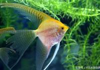 慘遭摧殘的熱帶魚女王——神仙魚