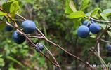 藍莓很多人都吃過,但你見過野生藍莓長啥樣嗎?