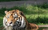 華南虎體型不如東北虎,以野豬、鹿、狍等為食,國家一級保護動物