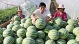 這些天,大棚西瓜大量上市了個大瓜甜,網友說:來一塊瓜消暑解渴