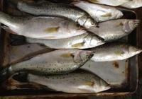 海鱸魚多少錢一斤2017 海鱸魚和淡水鱸魚哪個好吃