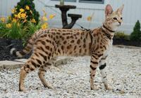 家貓和草原貓的雜交