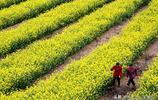 人說山西好風光,黃土地上油菜花開更迷人