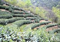 大別山開園頭採茶