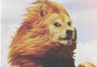 獅子感冒了 哈哈