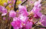 春來不看杜鵑花,遊盡青島也枉然,大珠山喊你去看杜鵑花