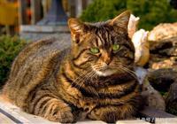 虎斑貓好養嗎,虎斑貓和美短有什麼區別
