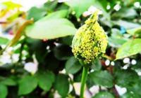 資深老花匠是如何防治月季上蚜蟲的?11種方法,總有1種你用得上