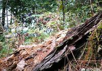 松樹皮如何處理才能做植料?