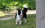 智商第一的狗狗,邊境牧羊犬!