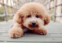 如何挑選泰迪犬?