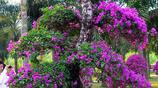 老農挖三角梅老樹一株掙上千,花商收購培育之後轉手就要價上萬
