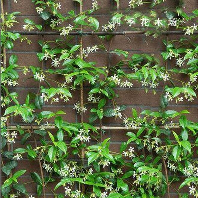 這八種的爬藤植物一開花就成瀑布,很簡單就讓庭院成為小花園