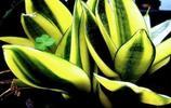 夏天是虎尾蘭的生長期,注意這幾點,讓你的虎尾蘭輕鬆爆盆,顏色還特別好看