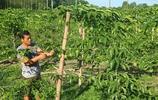 田裡種百香果,棚下養雞鴨鵝,路邊開設農家樂,這位大哥會致富嗎