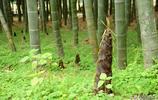 杭州:春筍破土而出 然後就是這樣吃了