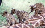 小獅子在長頸鹿身上玩耍,母獅不吃在一旁慈祥觀看