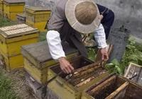 蜂王漿是怎麼來的?