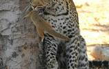 豹子的開胃小菜