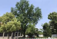 人文桐城 | 最高的枝條
