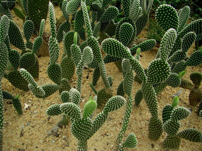 植物圖集:仙人掌