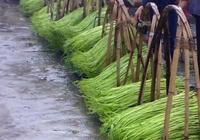 畝產萬斤水上菜--黎川水蕹菜