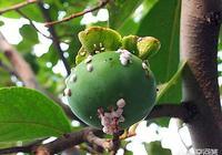柿子樹上長許多白色顆粒狀蟲子(搓破有紅色血樣),該如何殺滅?
