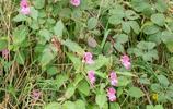 這種鳳仙花不一般,竟然是知名的入侵植物!