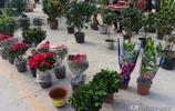 逛逛濟南仲宮大集上的花卉交易區,100元買了一盆金桔樹