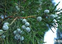 農村常見的柏樹籽有什麼作用?