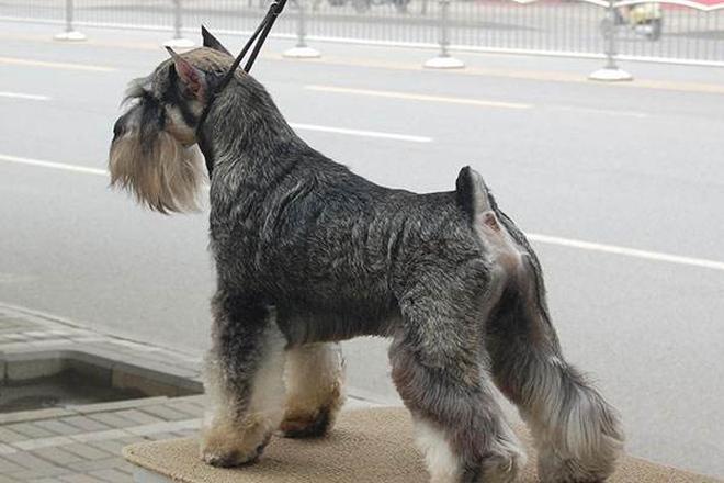 優秀犬種——雪納瑞勇敢、警惕,友好,聰明,喜歡取悅主人