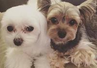 據說這是四種最為粘人的狗狗喲,有你喜歡的或者家裡正在養的嗎?