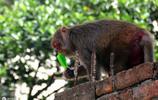 孟加拉國達卡老城的夏日有多熱 看看這隻猴子你就知道了