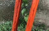 印度小葉紫檀精緻款:雙截龍棍