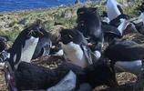 假企鵝混入企鵝群,直接把頭擰下來
