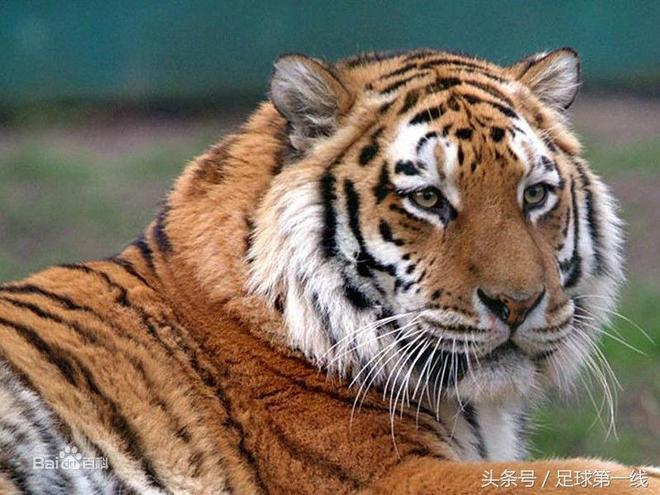 世界最美麗的動物——老虎,中國特有虎種已野外滅絕!