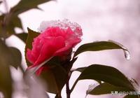 雪中綻放的山茶花