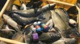 用一點就能逼著魚開口的小藥,聚魚成窩,輕鬆爆護!